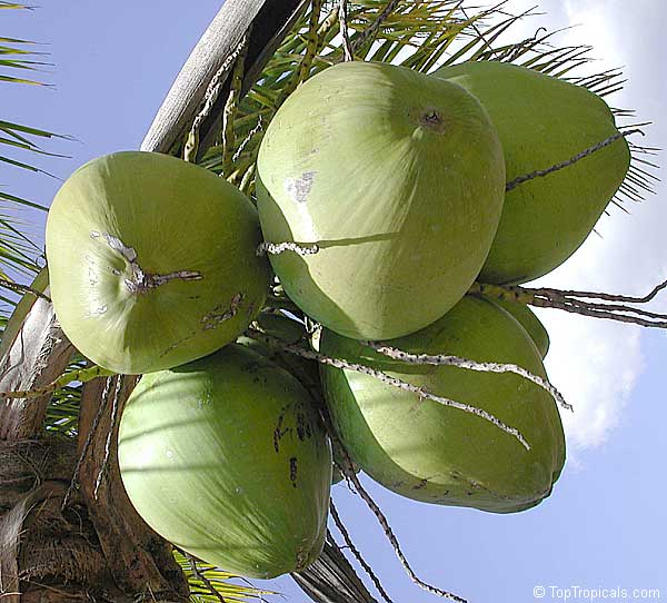 kokos big Как растут настоящие орехи?